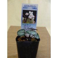 原種シクラメン コウム シルバーリーフ/白花