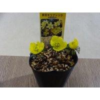 黄花セツブンソウ