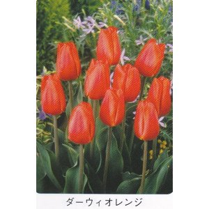 画像1: チューリップ球根 ダーウィオレンジ